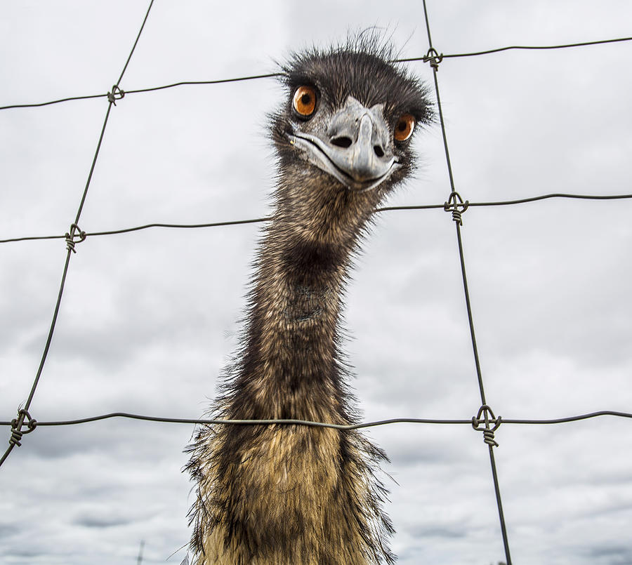 Australian Emu Dromaius Novaehollandiae Photograph by David Trood
