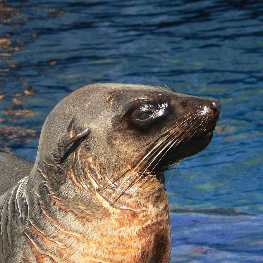australian fur seal 2 photograph by margaret saheed