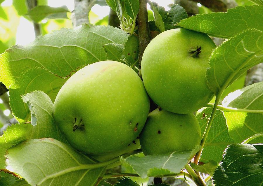Apples Photograph - Australian Ganny Smith Apples by Sandra Sengstock-Miller