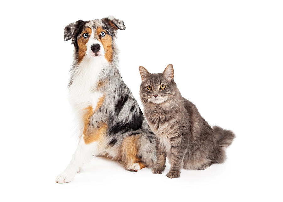 Cat Photograph - Australian Shepherd Dog And Tabby Cat by Susan Schmitz