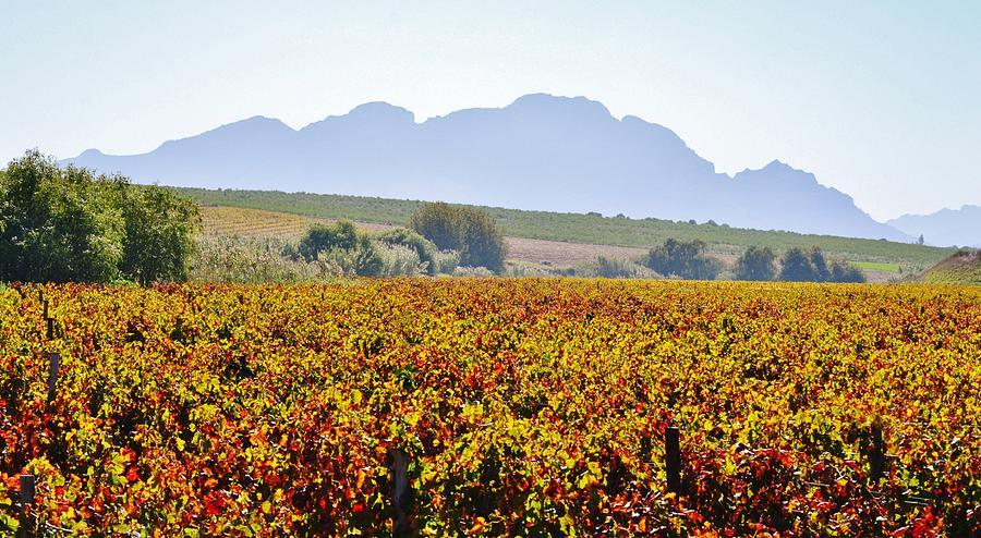 Close Up Photograph - Autum Wine Field by Werner Lehmann