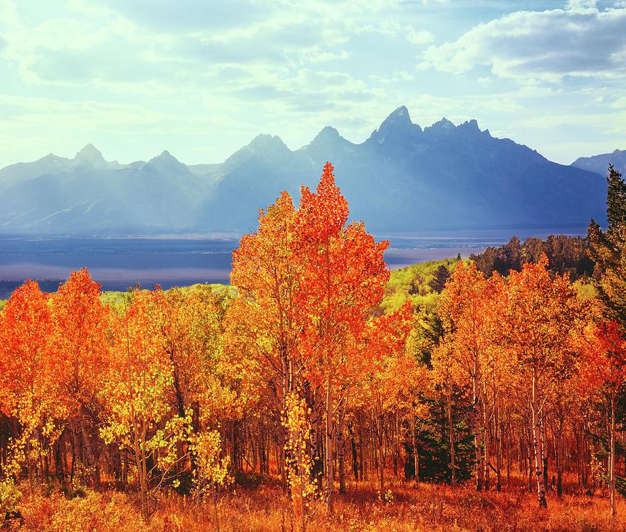 Autumn Aspen Trees In Grand Teton Photograph by Ron thomas