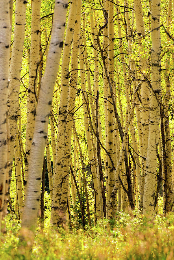 Autumn Aspens Fall Colors Photograph by Adventure photo