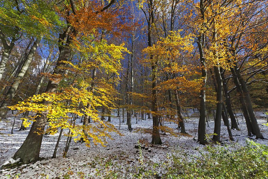 Autumn Beech Forest Hessen Germany Photograph by Duncan Usher
