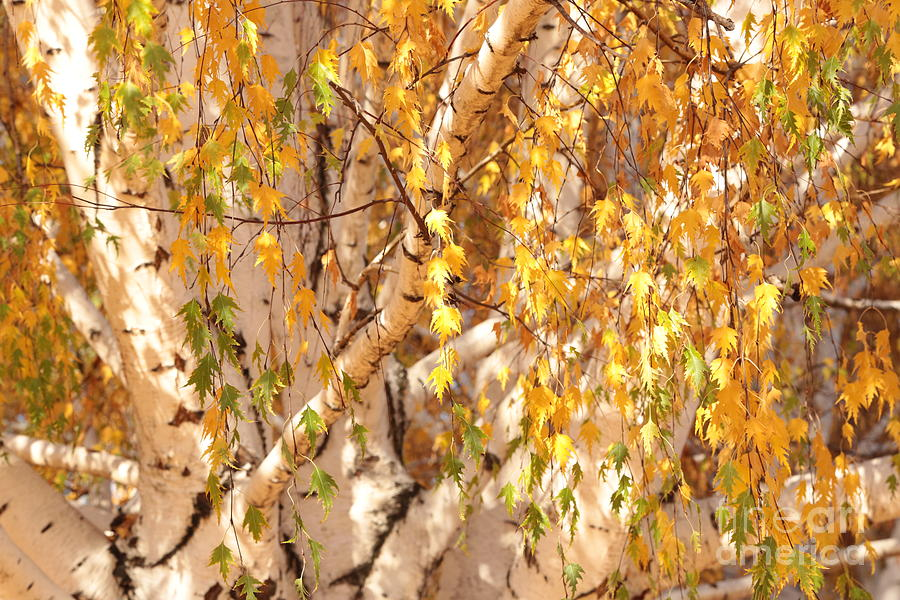 Autumn Photograph - Autumn Birch Leaves by Carol Groenen