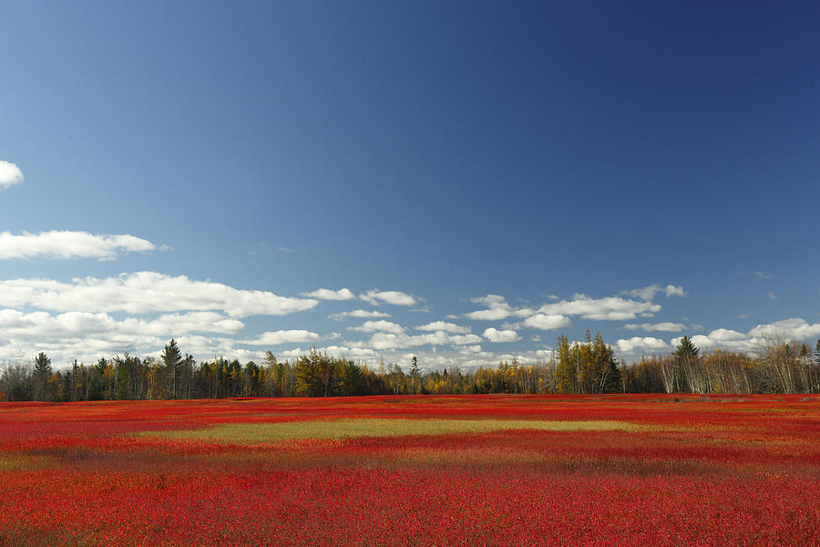 Animalsandearth Photograph - Autumn Blueberry Field Maine by Scott Leslie