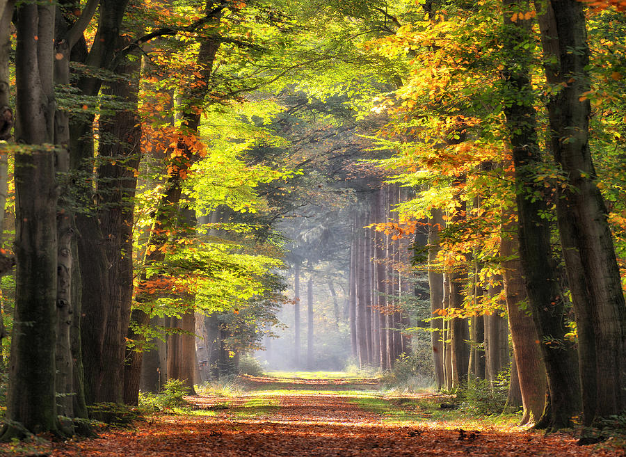 Autumn colored leaves glowing in sunlight in avenue of beech trees Photograph by RelaxFoto.de