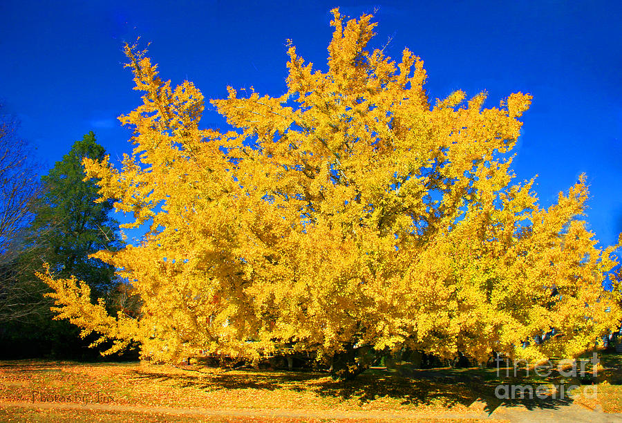 Autumn Colors Gingko Tree  Photograph by Jinx Farmer
