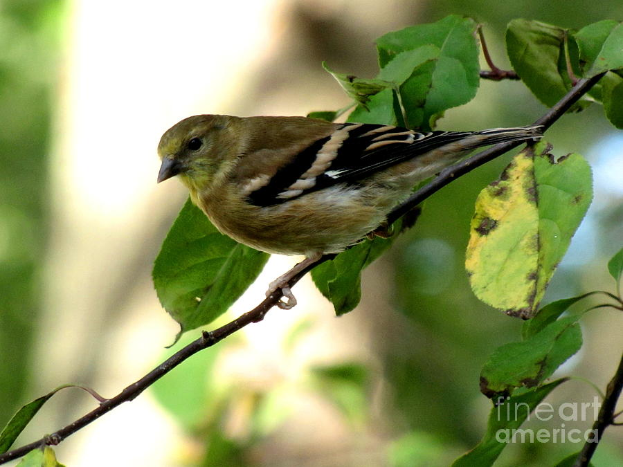 Goldfinch Photograph - Autumn Colors by Marilyn Smith