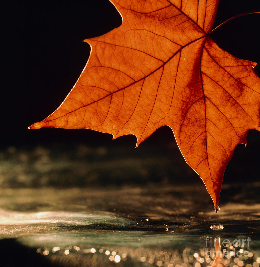 autumn colour in maple leaf photograph by oscar burriel