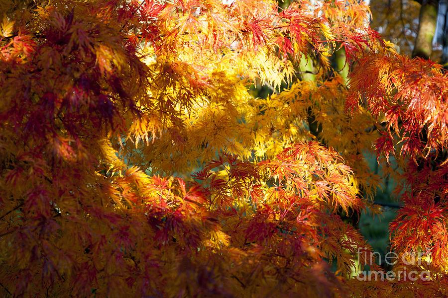 Autumn Colours Of Orange Red Acer Palmatum Seiryu Dissectum