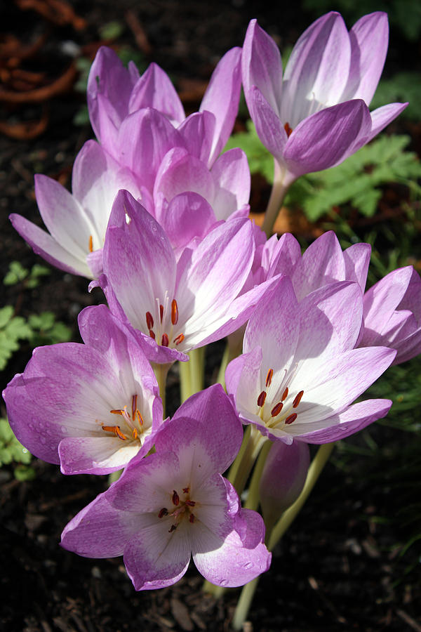 Autumn Crocus by Gerry Bates