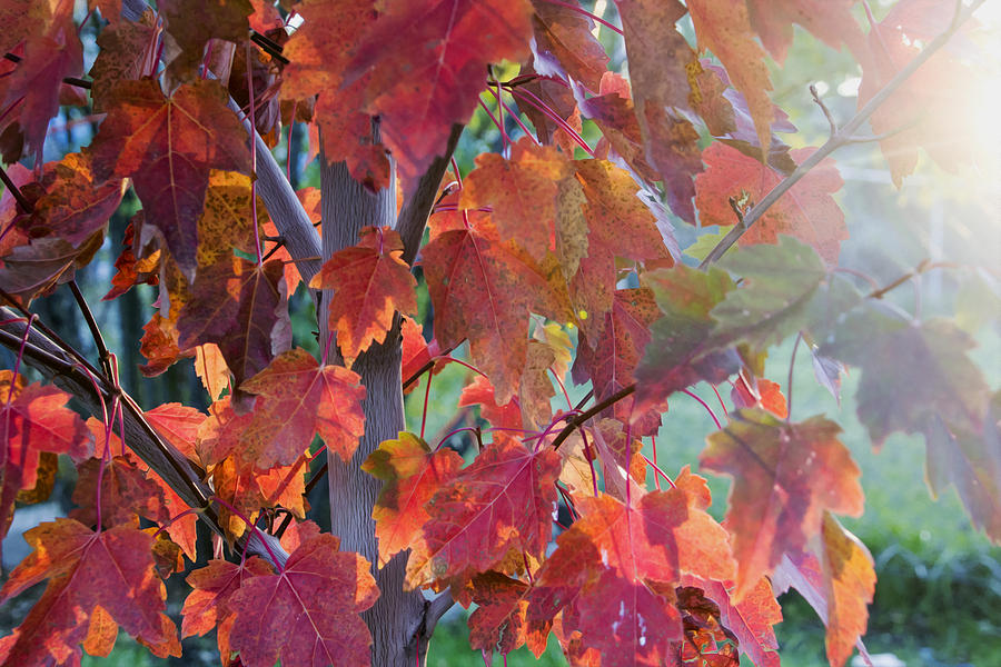 Leaves Photograph - Autumn Flame by Dana Moyer