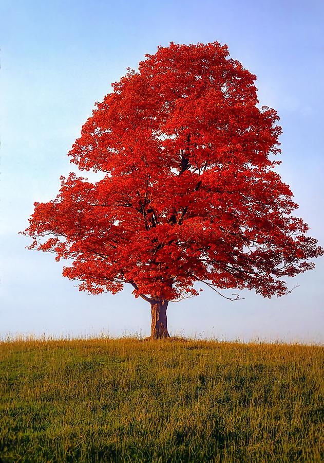 Sugar Maple Photograph - Autumn Flame by Steve Harrington