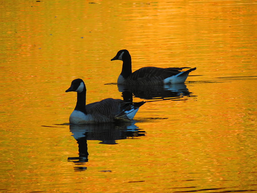 Autumn Geese Photograph by Alex  Call