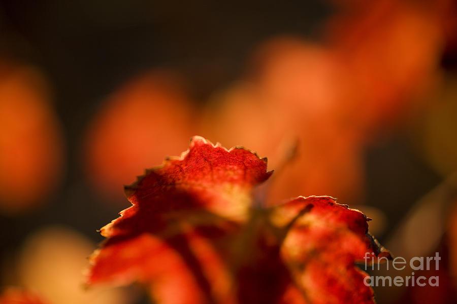 California Photograph - Autumn Grape Leaf Macro by Charmian Vistaunet