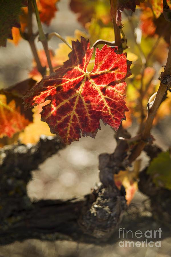 California Photograph - Autumn Grape Leaves by Charmian Vistaunet