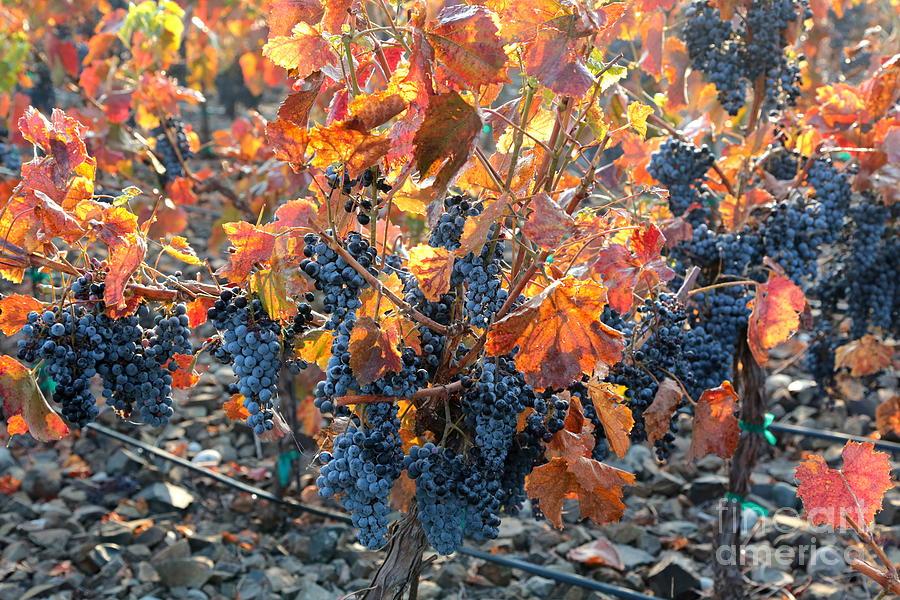 Grapes Photograph - Autumn Grapes by Carol Groenen