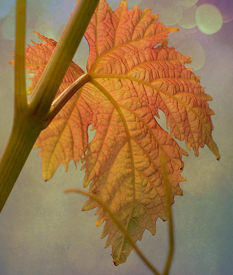 Leaf Photograph - Autumn Grapevine by Fraida Gutovich