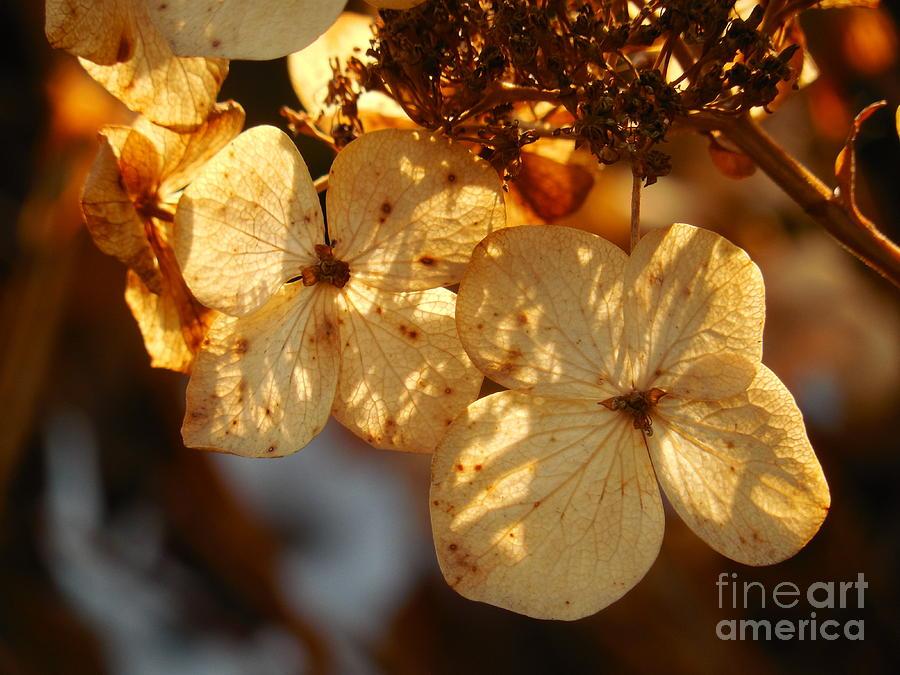 Floral Photograph - Autumn Hydrangeas I V by Rowena Throckmorton