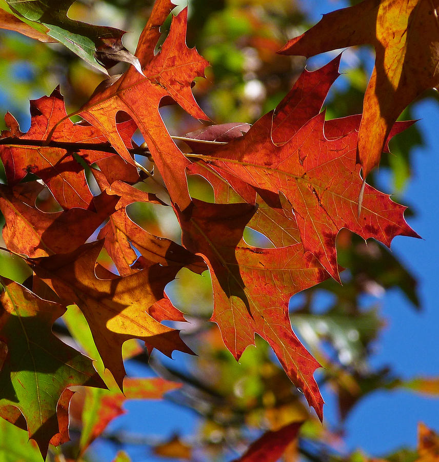 Autumn Leaf Photograph - Autumn In Australia by Margaret Saheed