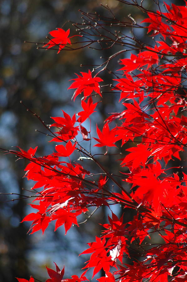 Fall Photograph - Autumn In Red by Les Scarborough