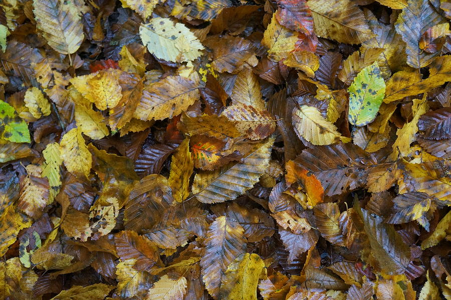 Autumn Leaves Photograph - Autumn Leaves by David  Hawkins