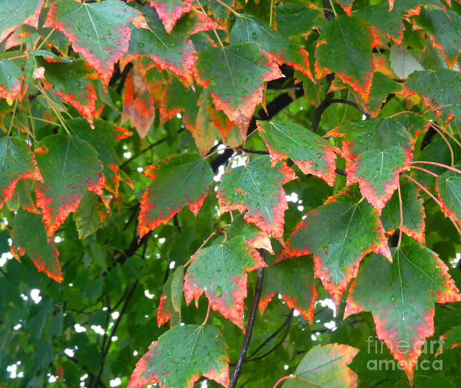 Leaves Photograph - Autumn Leaves by Marcia Nichols