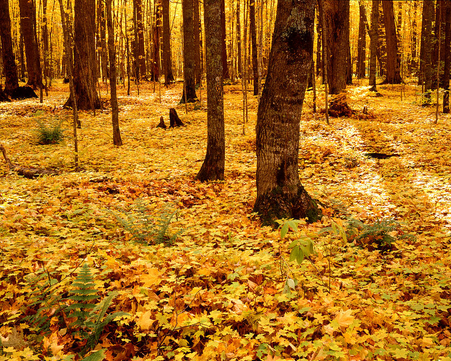 Maple Forest Photograph - Autumn Maples by Tim Hawkins