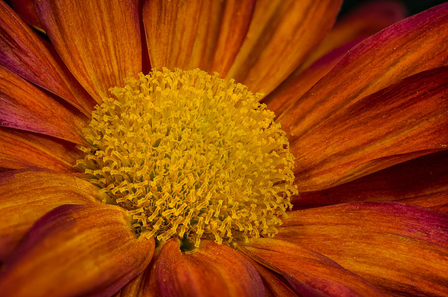Autumn Mum by Randy Walton