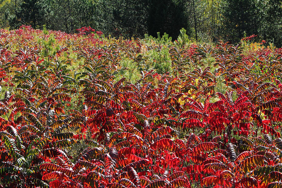 Sumac Photograph - Autumn Radiance by James Hammen