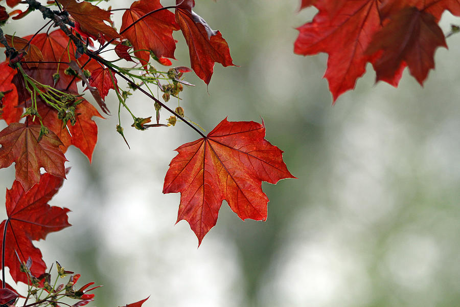 Autumn Photograph - Autumn Red by Karol Livote