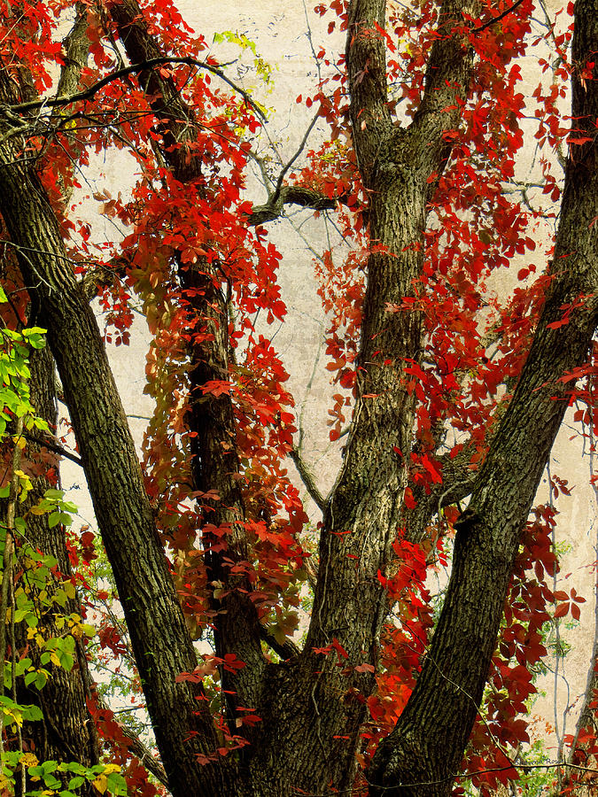 Red Leaves Photograph - Autumn Red by Shawna Rowe