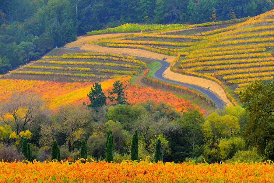 Alexander Valley Vineyard Photograph - Autumn Showing Off by Antonia Citrino