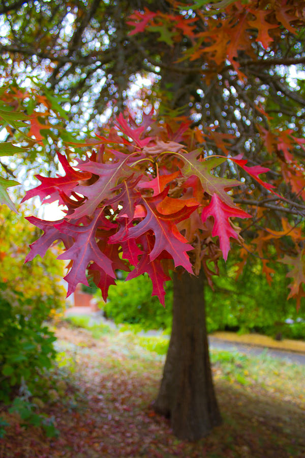 Leaves Photograph - Autumn Splendor by Mamie Thornbrue