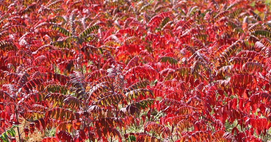 Sumac Photograph - Autumn Sumac by James Hammen