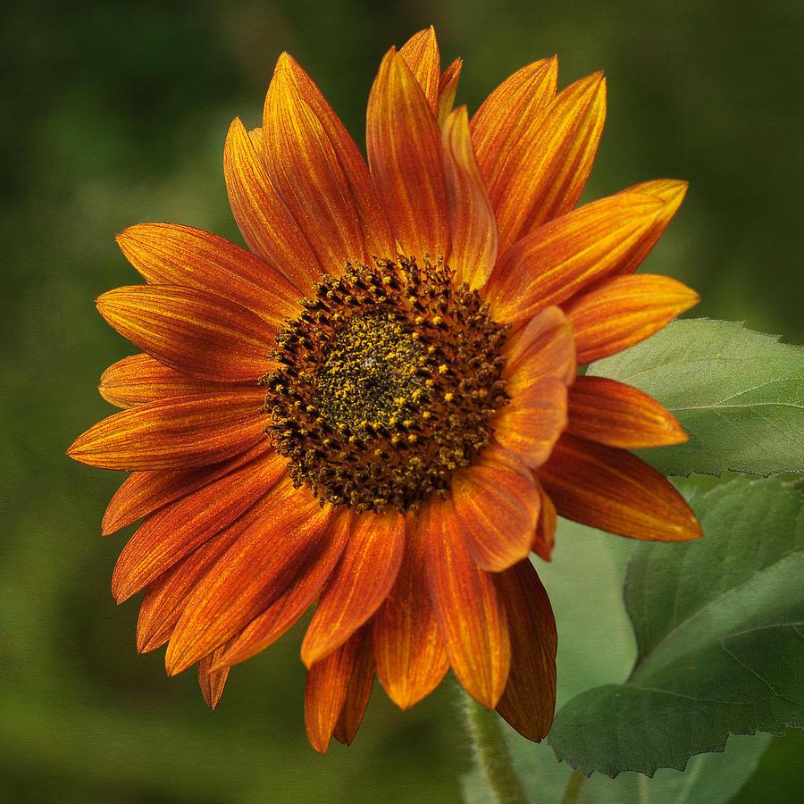Sunflower Photograph - Autumn Sunflower by Liz Mackney