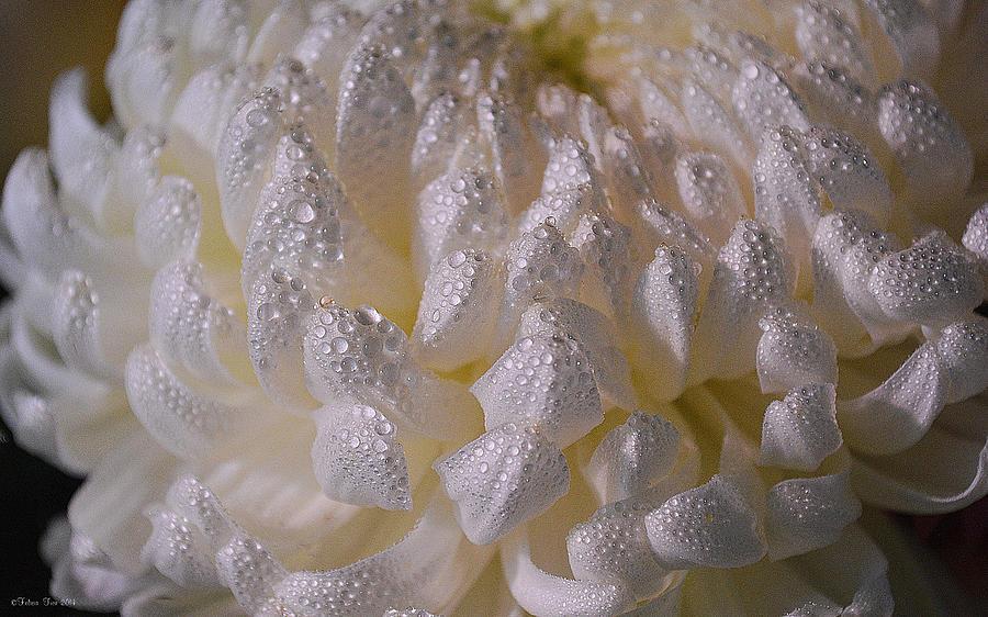 White Photograph - Autumn Tears by Felicia Tica