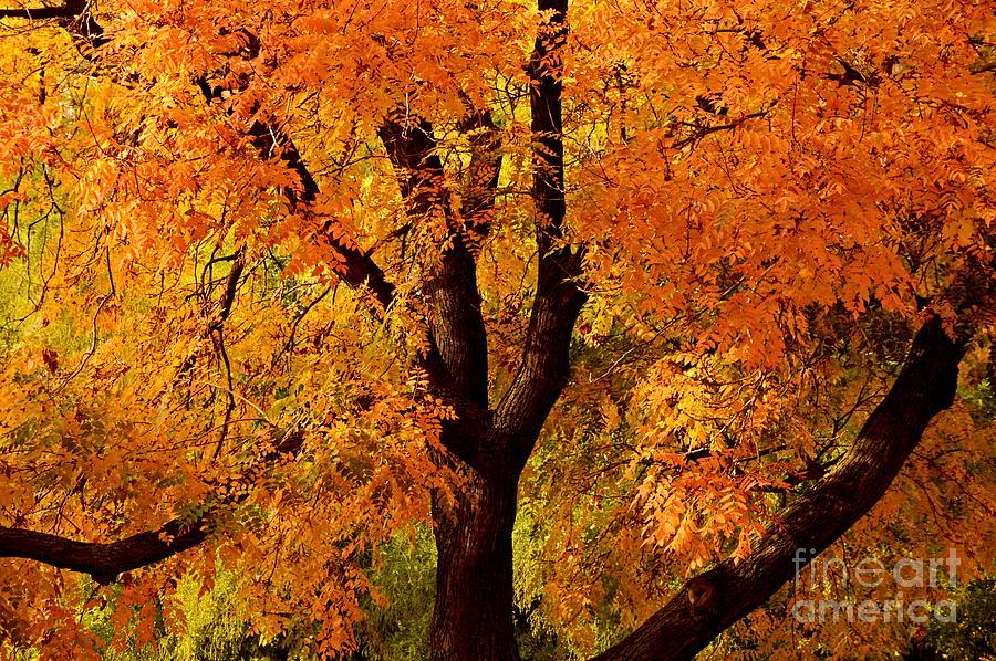 Tree Photograph - Autumn Tree by Steven Liveoak