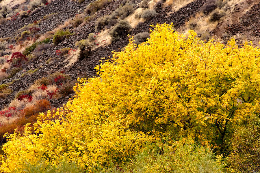 Autumn Trees In The Desert  Kittitas County  Washington