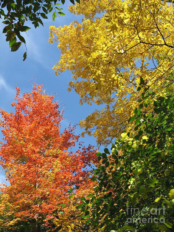 Autumn Treetops Photograph
