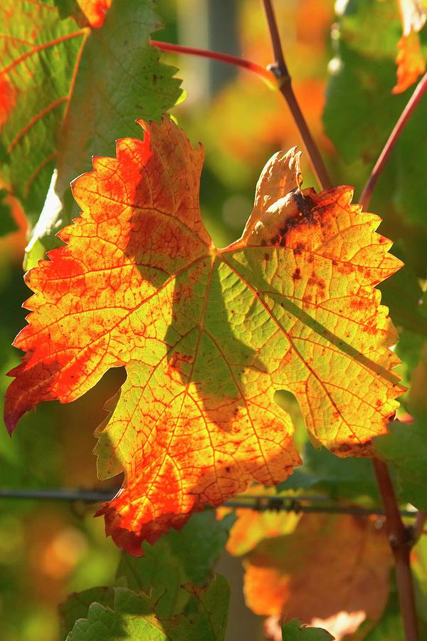 Australia Photograph - Autumn Vine Leaf, Vineyard by David Wall