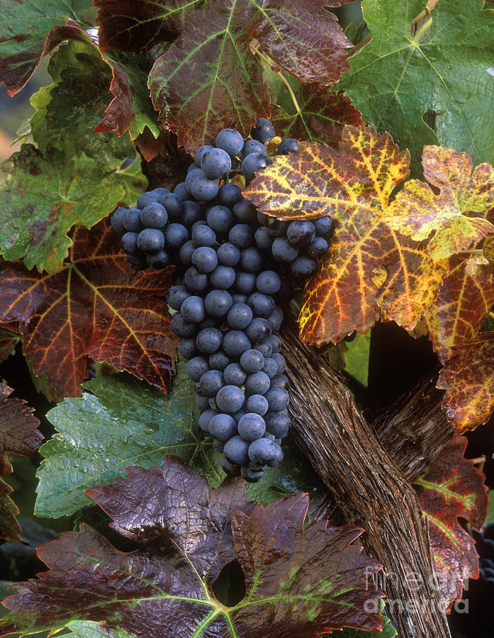 Agriculture Photograph - Autumn Zinfandel Cluster by Craig Lovell