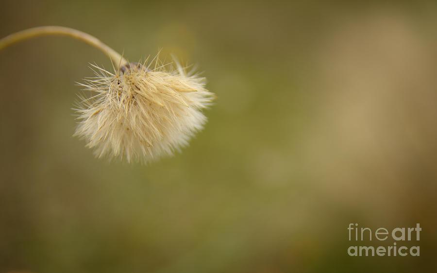Bent Photograph - Autumnal Dandelion Fluff by Jolanta Meskauskiene