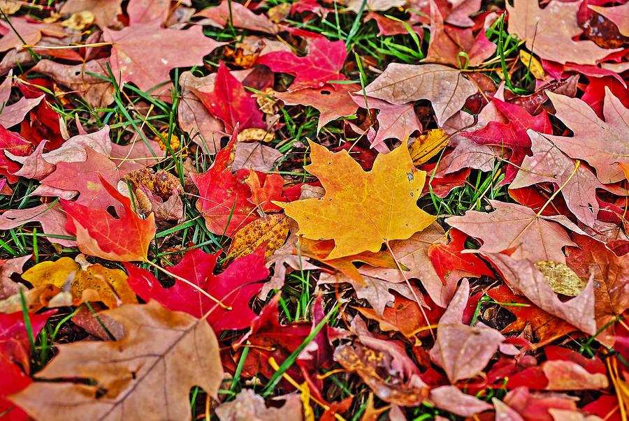 Maple Leaf Photograph - Autumns Blanket by SCB Captures