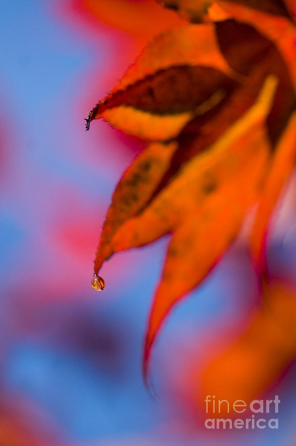 Acer Photograph - Autumns Finest by Anne Gilbert