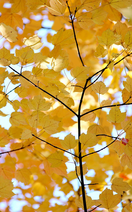 Leaf Photograph - Autumns Golden Leaves by Jennie Marie Schell