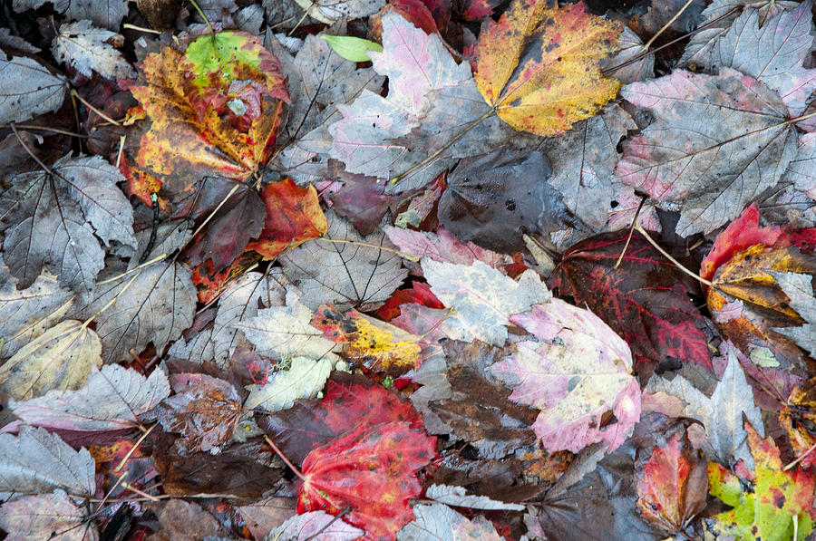 Autumns Leaves Photograph