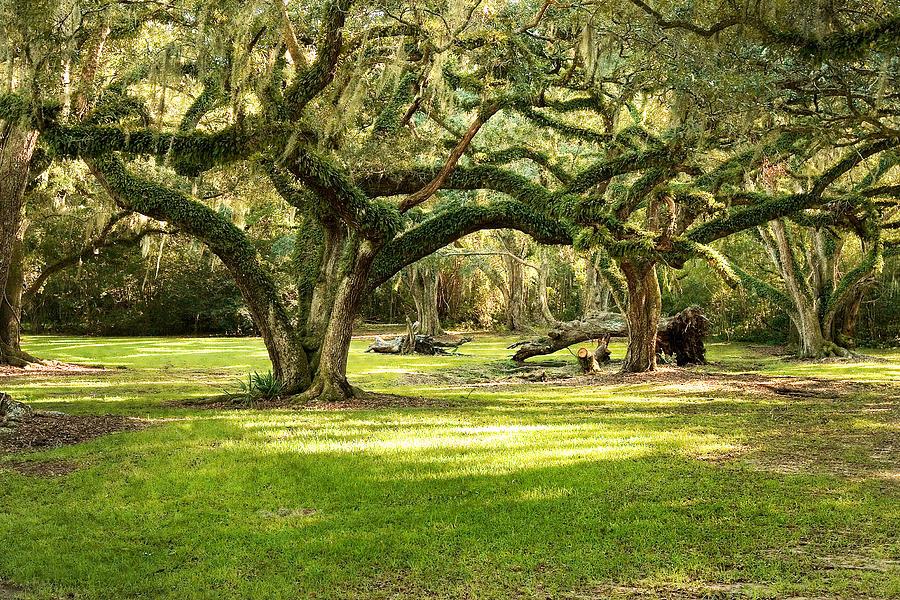 Oak Trees Photograph - Avery Island Oaks by Scott Pellegrin