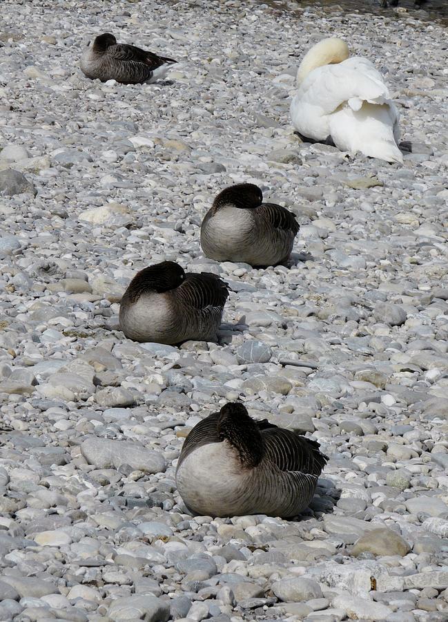 Avian Nap Photograph